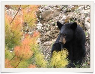 Algonquin Park Bear