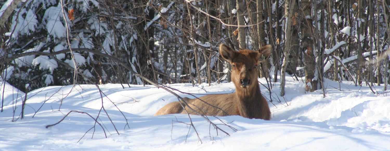 Elk, Bancroft Ontario