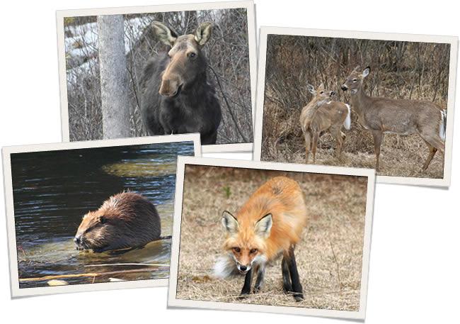 Algonquin Park Wildlife